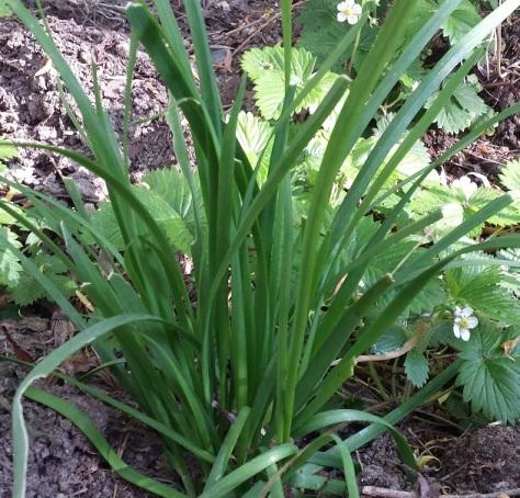 GarlicChive